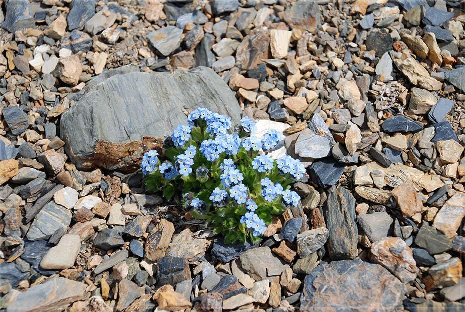 Такие цветы растут на высоте 3000 м